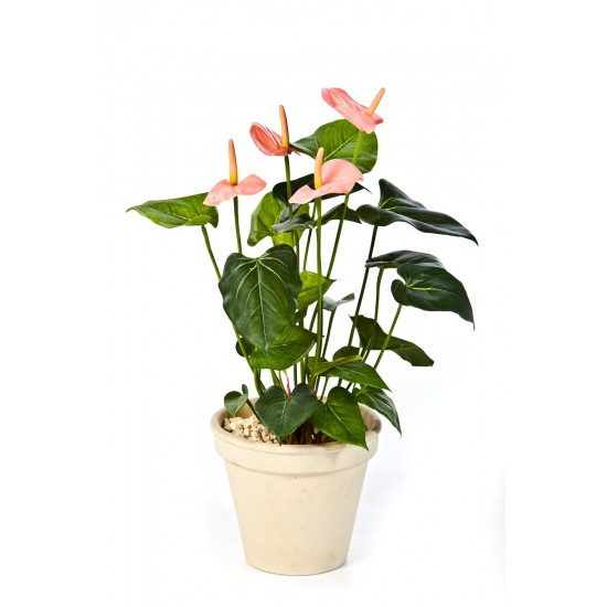 ANTHURIUM DE LUXE ROSE