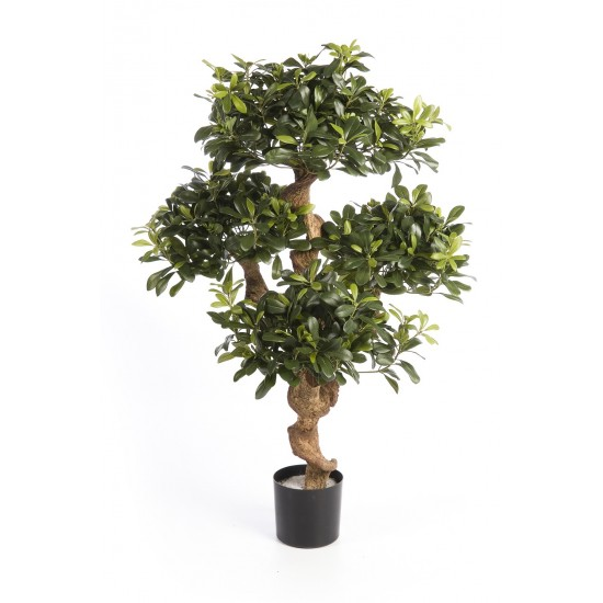 PITTOSPORUM ARBRE DE...